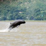 Conservationists say Ayeyarwady dolphin in danger of extinction